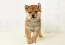 豆柴子犬 12/12 男の子 売約済のサムネイル