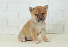 豆柴子犬 2/14 女の子♀1 売約済のサムネイル