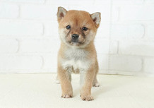 豆柴子犬 2/26 女の子♀3 売約済のサムネイル