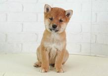 豆柴子犬 3/9 男の子♂ 売約済のサムネイル