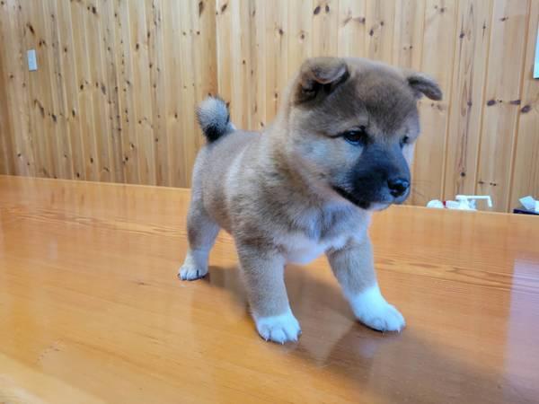 飛騨奥鋭荘の子犬のご紹介 受付中